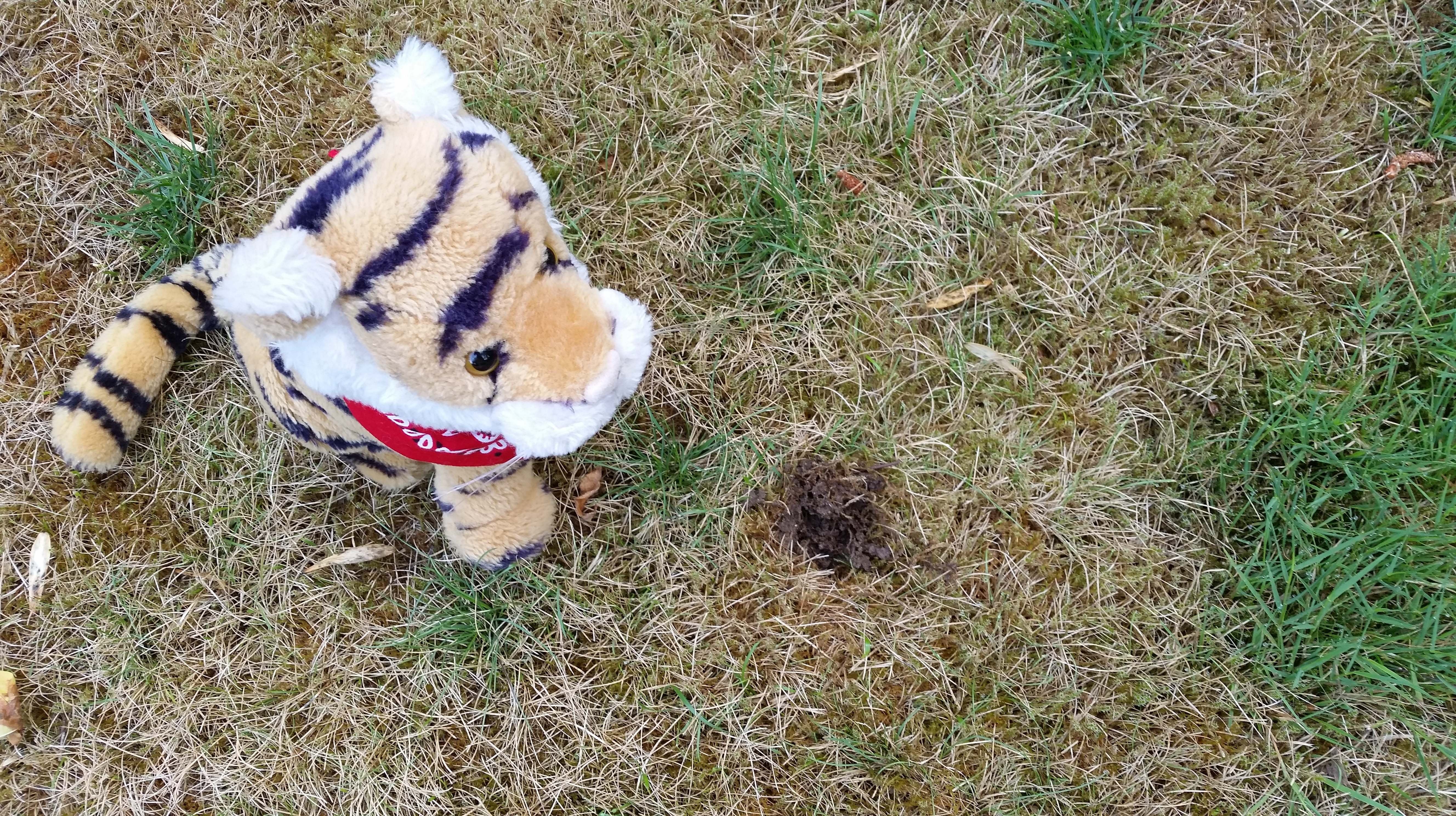 Raccoon Holes In Lawn